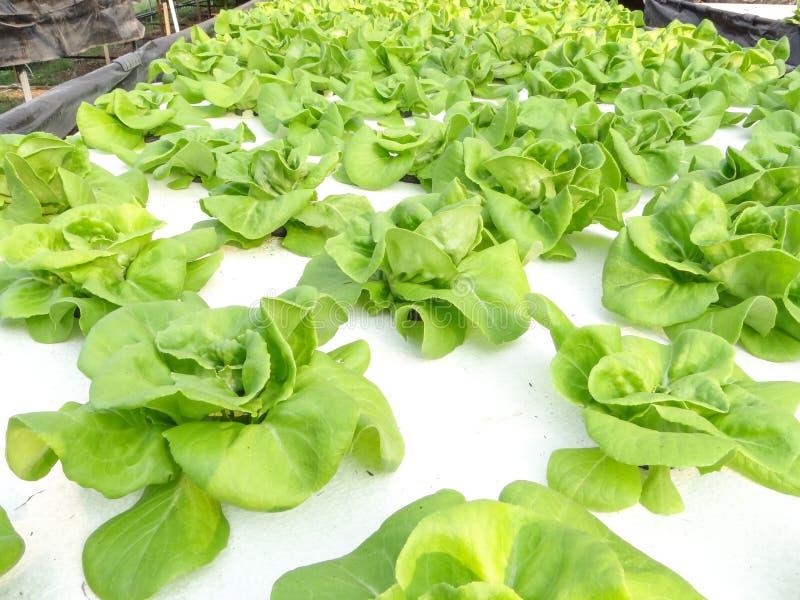 Hydroponic groente royalty-vrije stock fotografie