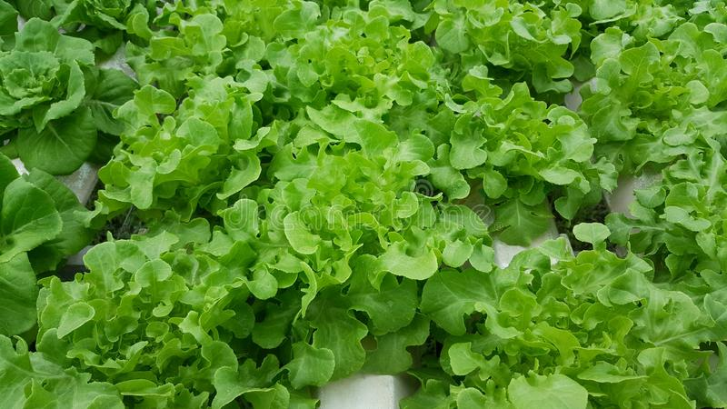 Hydroponic growing vegetables royalty free stock photography