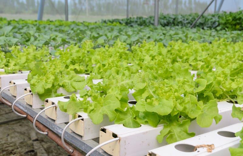 Hydroponic leaf lettuce vegetables plantation. Organic Hydroponic green oak leaf lettuce vegetables plantation in aquaponics system stock image