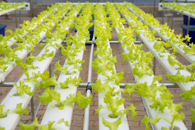 Hydroponic lettuce farm in green house royalty free stock photos