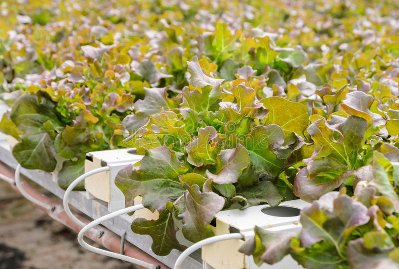 Hydroponic lettuce vegetables plantation. Organic Hydroponic red oak leaf lettuce vegetables plantation in aquaponics system royalty free stock photography