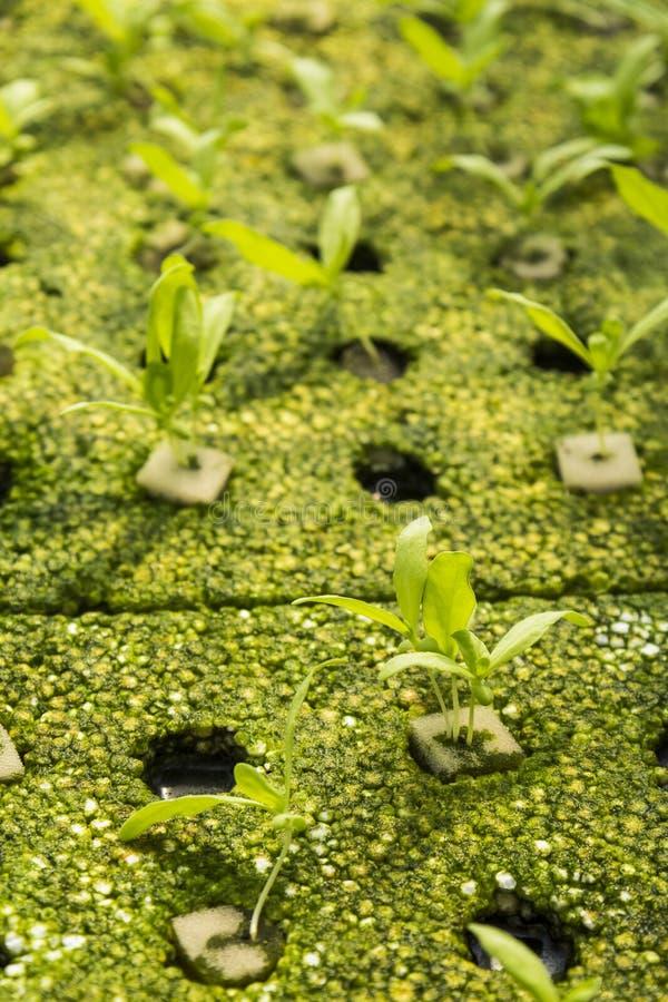 Hydroponic planta royaltyfri fotografi