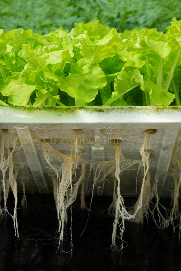 Hydroponic plantation. Show Lettuce roots royalty free stock images