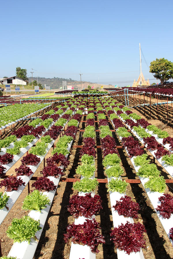 Hydroponic Plantation. Farm of Hydroponic Plantation in the noon royalty free stock photo