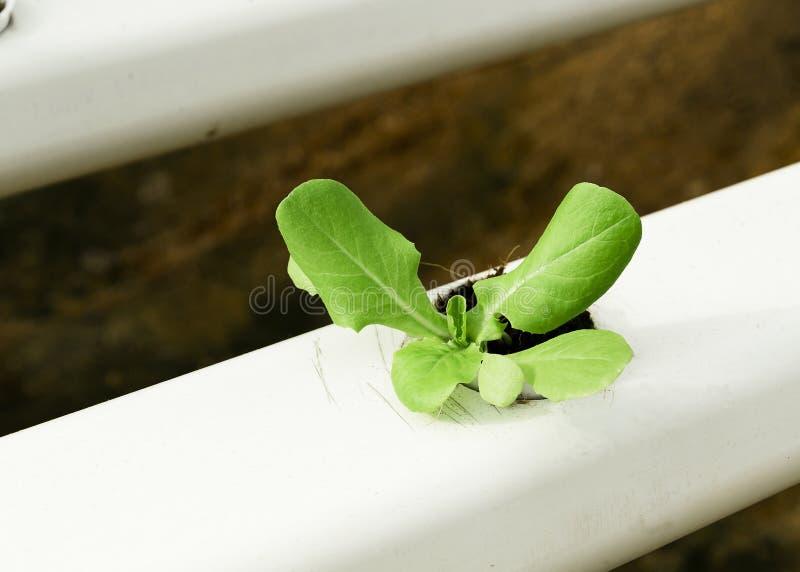 Hydroponic Plantation Agriculture. Organic hydroponic fresh vegetable plantation royalty free stock image