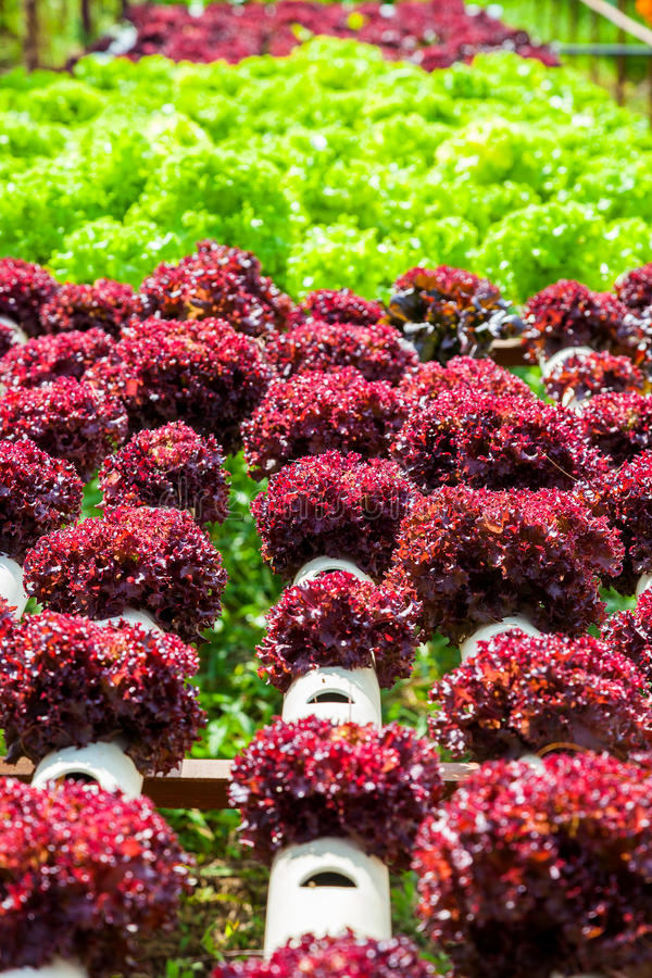 Hydroponic Plantation in the farm. Close up of Hydroponic Plantation in the farm royalty free stock image