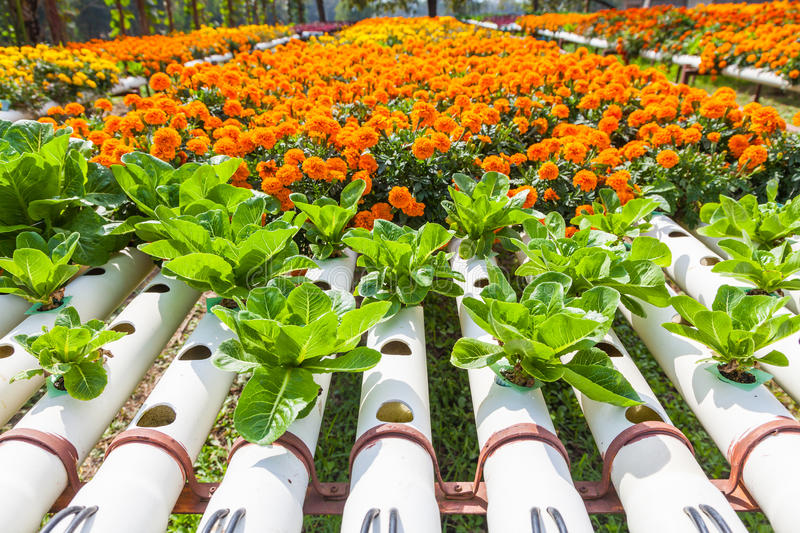 Hydroponic Plantation in the farm. Close up of Hydroponic Plantation in the farm royalty free stock photos