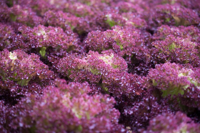Hydroponic Red Coral lettuce growing in greenhouse at Cameron Hi. Ghlands, Malaysia stock photos