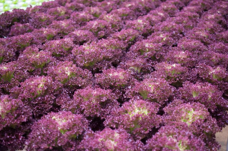 Hydroponic Red Coral lettuce growing in greenhouse at Cameron Hi. Ghlands, Malaysia royalty free stock images