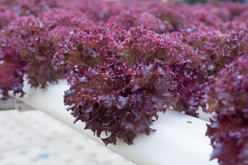 Hydroponic Red Coral lettuce growing in greenhouse at Cameron Hi. Ghlands, Malaysia royalty free stock image