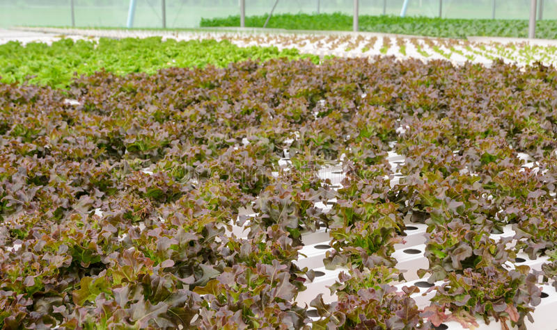 Hydroponic red oak leaf lettuce vegetables plantation. Organic Hydroponic red oak leaf lettuce vegetables plantation in aquaponics system stock photo