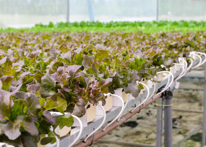 Hydroponic red oak leaf lettuce vegetables plantation. Organic Hydroponic red oak leaf lettuce vegetables plantation in aquaponics system royalty free stock photography