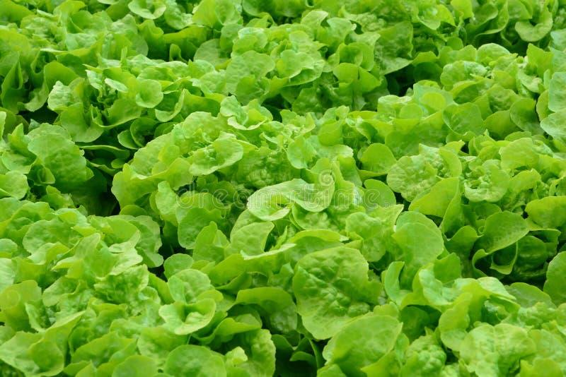 Hydroponic rośliny w jarzynowego ogródu gospodarstwie rolnym zdjęcia royalty free