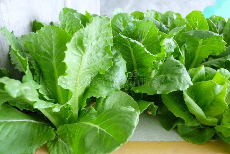Hydroponic Salad or Fresh green vegetables. For eat to health lovers stock images