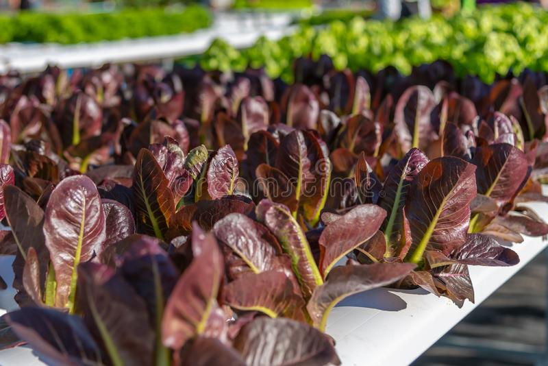 Hydroponic salad vegetables lettuce in hydroponics system farm plantation.  stock images