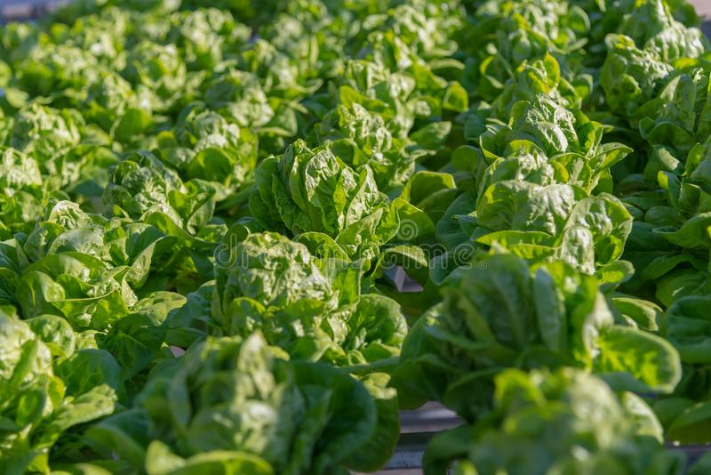 Hydroponic salad vegetables lettuce in hydroponics system farm plantation.  stock photography