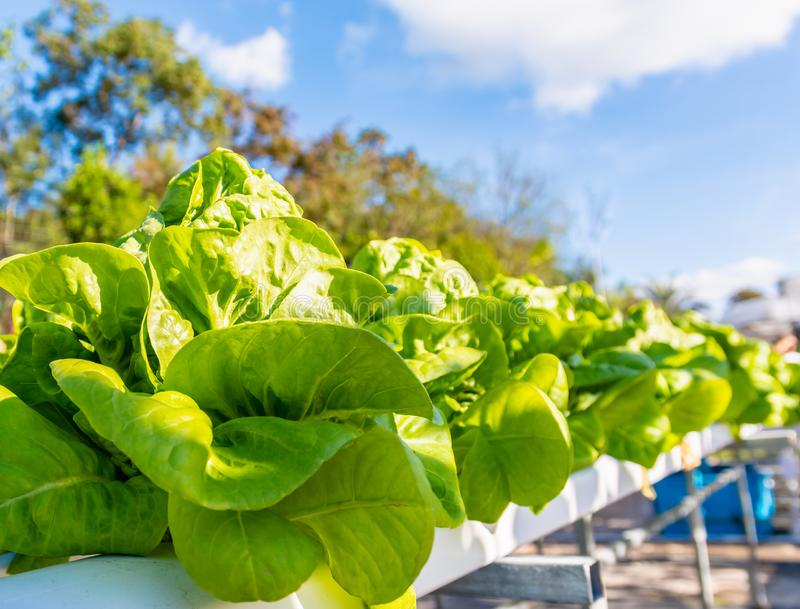 Hydroponic salad vegetables lettuce in hydroponics system farm plantation.  royalty free stock photos
