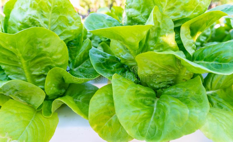 Hydroponic salad vegetables lettuce in hydroponics system farm plantation.  stock photos