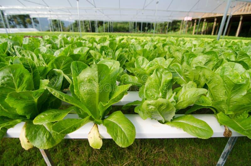 Hydroponic växa för grönsaker i växthus royaltyfri fotografi