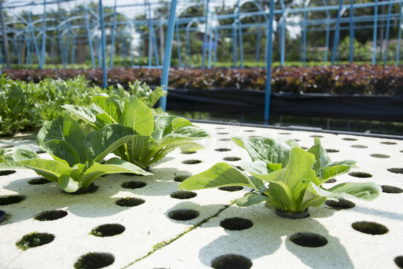 Hydroponic vegetable зеленый цвет стоковые фото