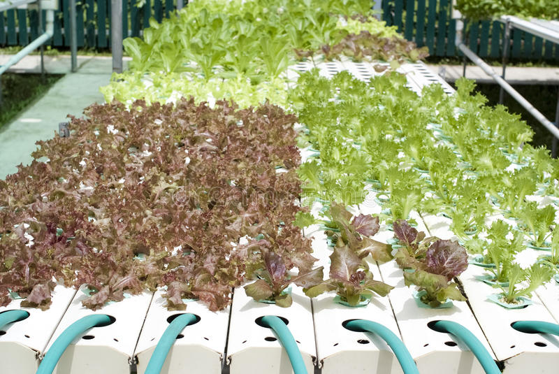 Download Hydroponic Vegetable садовничать Стоковое Фото - изображение насчитывающей green, органическо: 40577276