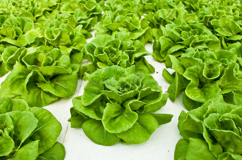 Hydroponic vegetable. Planting using DFT technique stock images