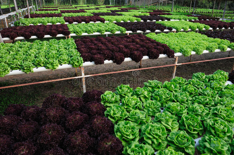 Hydroponic Vegetable. View of Hydroponic Vegetable Farm royalty free stock images