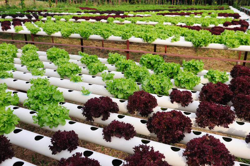 Hydroponic Vegetable. Farm in Thailand royalty free stock images