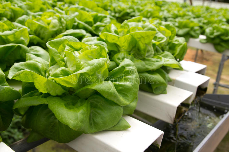 Hydroponic vegetable. Organic hydroponic vegetable garden at Cameron Highlands Malaysia royalty free stock photo
