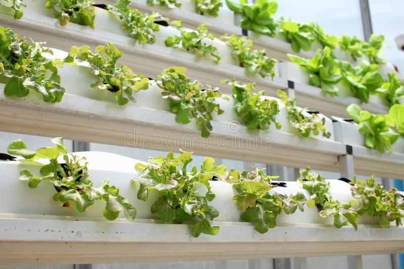 Hydroponic vegetable. Farm close up stock images