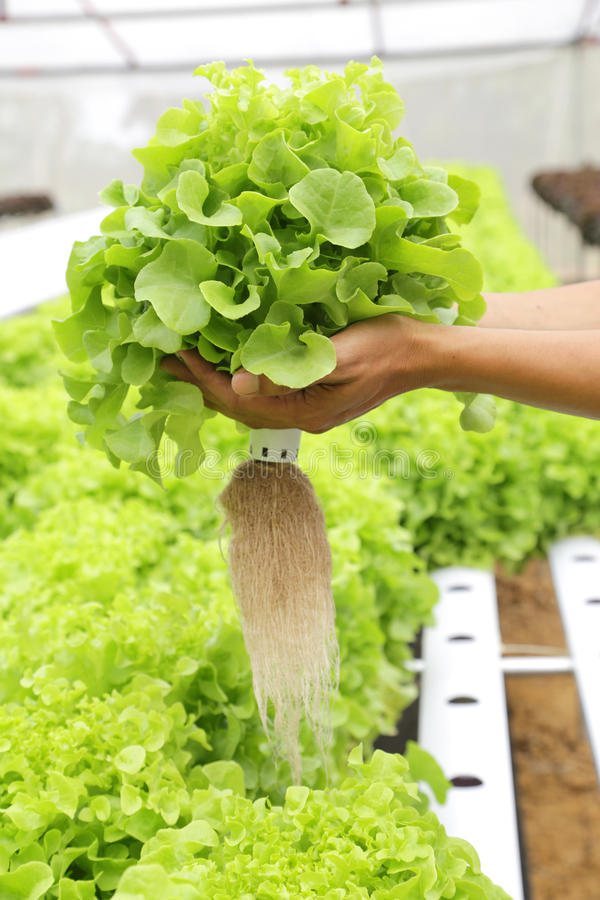 Hydroponic vegetable. (Green Oak) on hand in garden royalty free stock photography