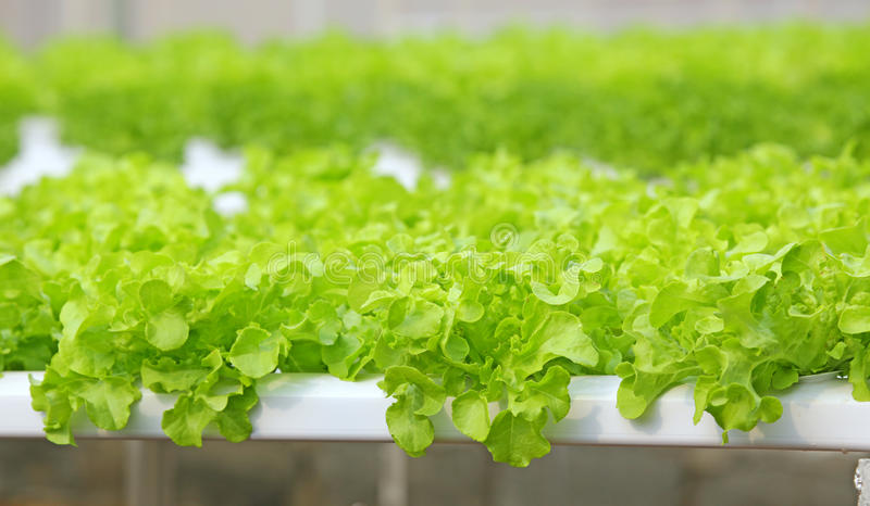 Hydroponic vegetable. Is planted in a garden royalty free stock photos