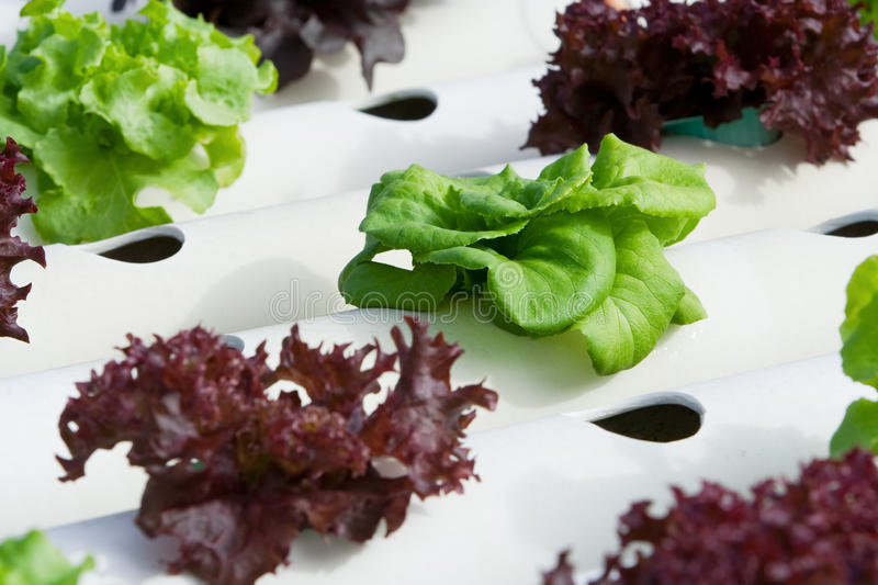 Hydroponic vegetable. Is planted in a garden royalty free stock image
