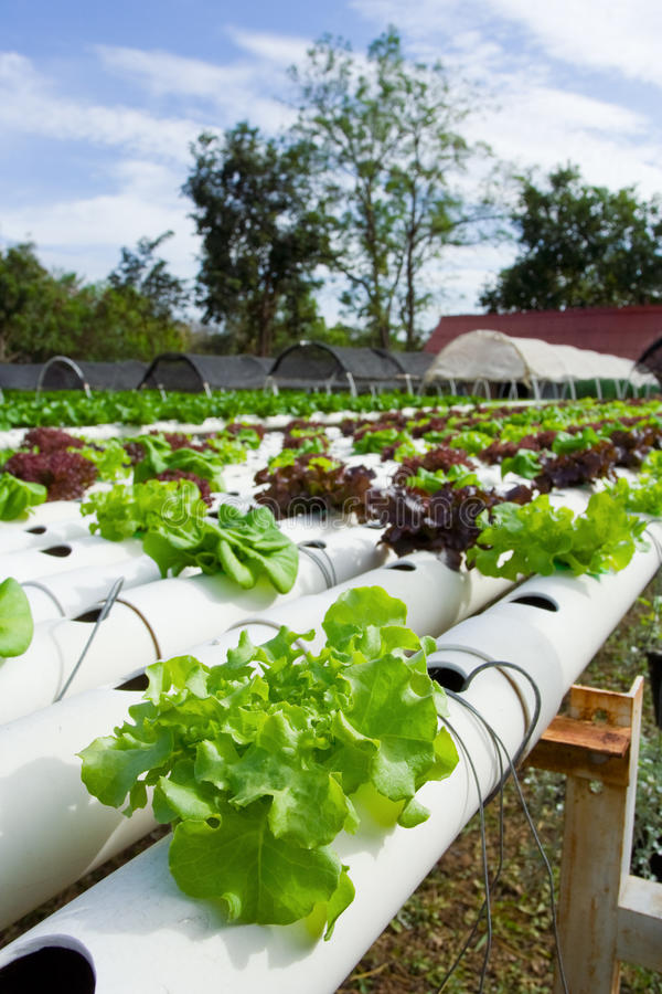 Hydroponic vegetable. Is planted in a garden royalty free stock images