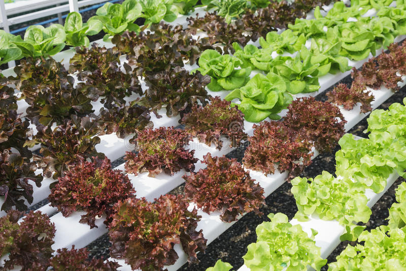 Hydroponic Vegetable farm Salad Healthy Food. Hydroponic Vegetable farm grow Salad Healthy Food Business stock photo