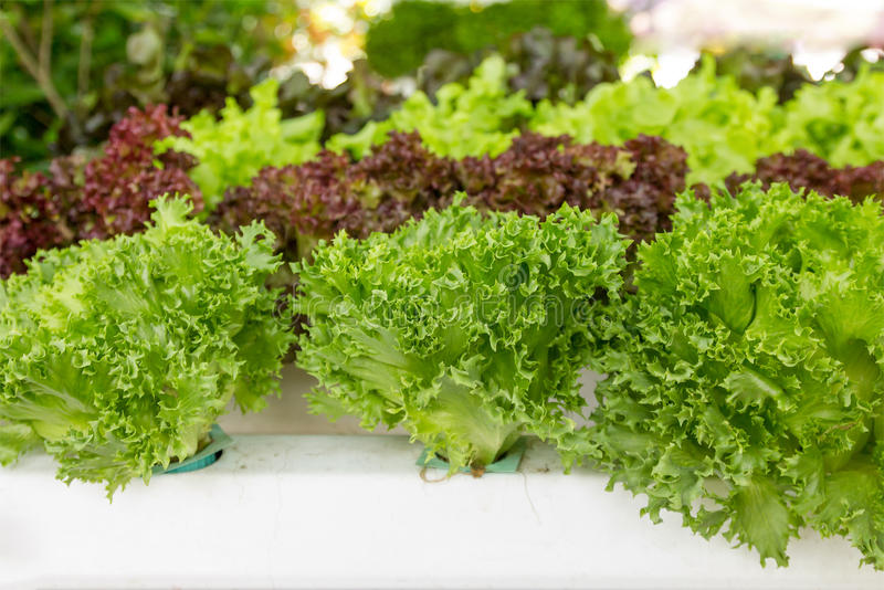 Hydroponic vegetable. Food fresh garden stock images
