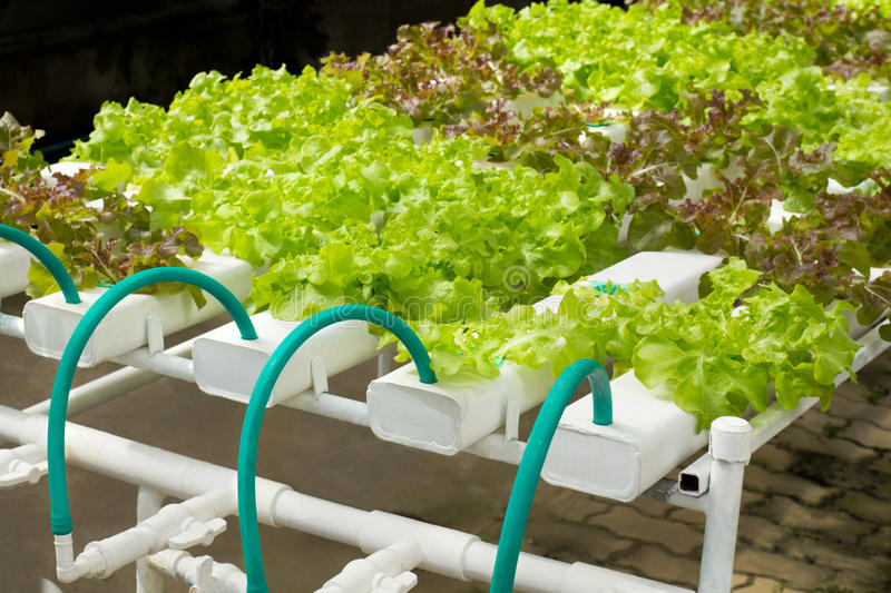 Hydroponic Vegetable Gardening. System using water no soil royalty free stock image
