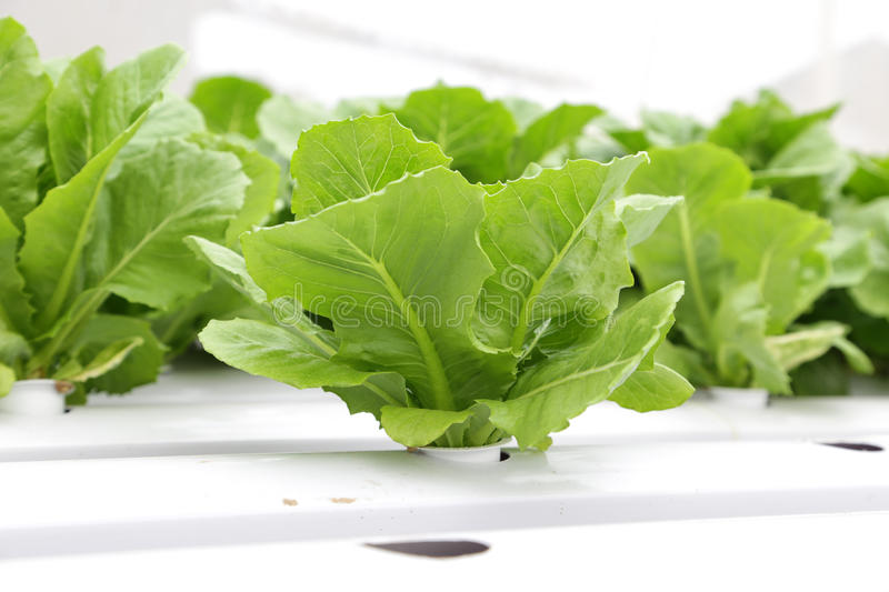Hydroponic vegetable (Green Cos). In farm royalty free stock images