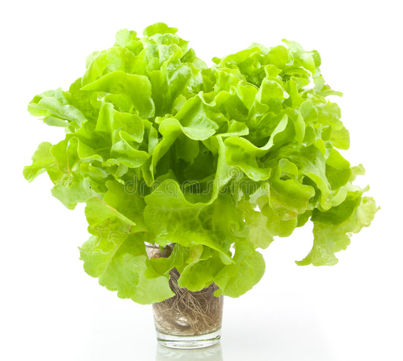 hydroponic vegetable green oak stock images