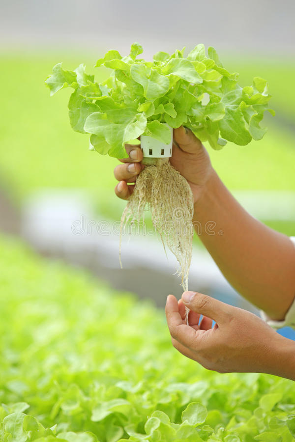Hydroponic vegetable on hand. In a garden stock images