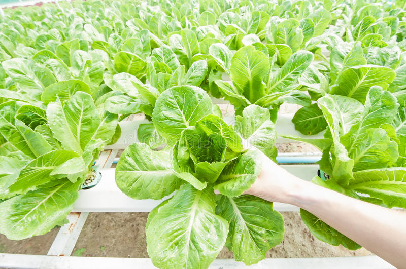Hydroponic vegetable. On hand in a garden stock photo