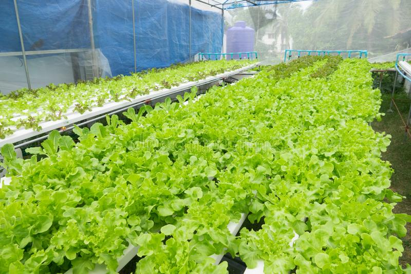 Hydroponic vegetable. Hydroponic lettuces in hydroponic pipe. Hydroponic vegetable farm stock image