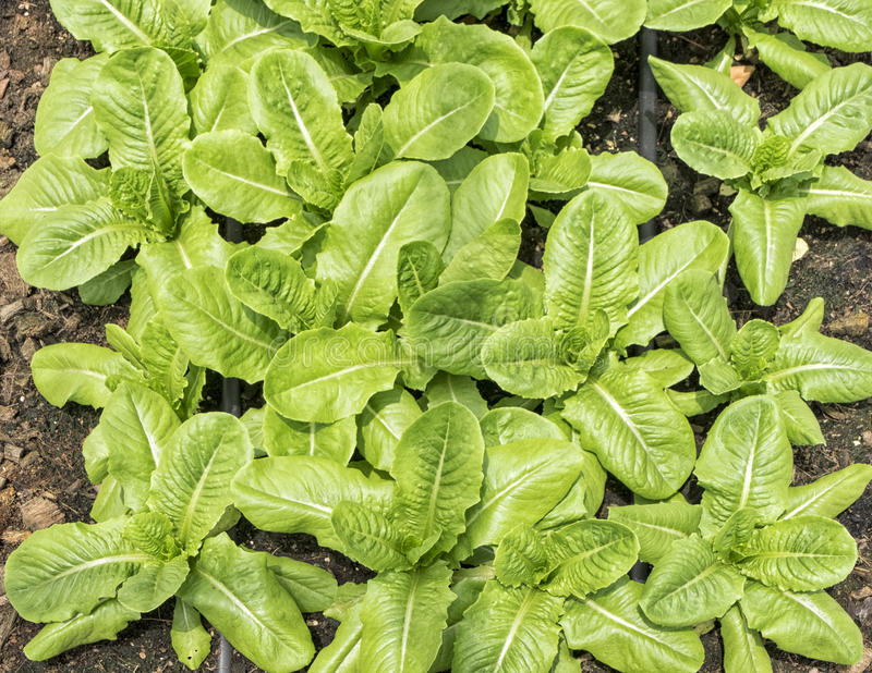 Hydroponic vegetable plantation background. Fresh and Healthy food royalty free stock photography