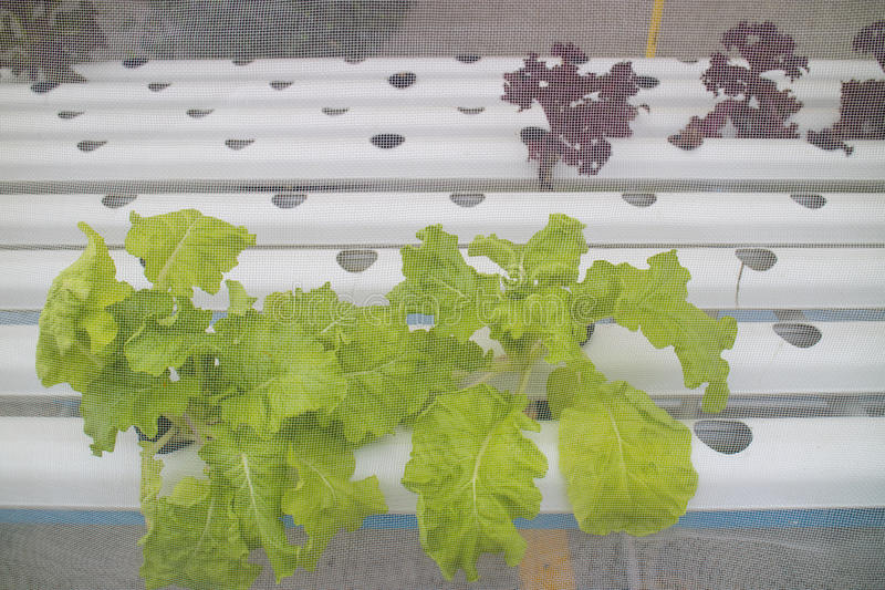 Hydroponic vegetable is planted in nursery. Thailand stock photography