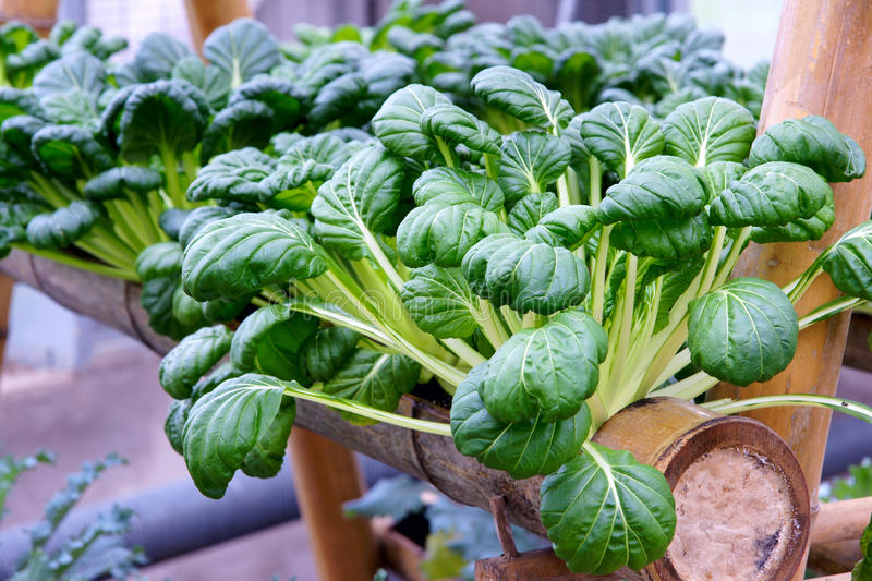 Hydroponic vegetables. Are growing in hothouse stock photography