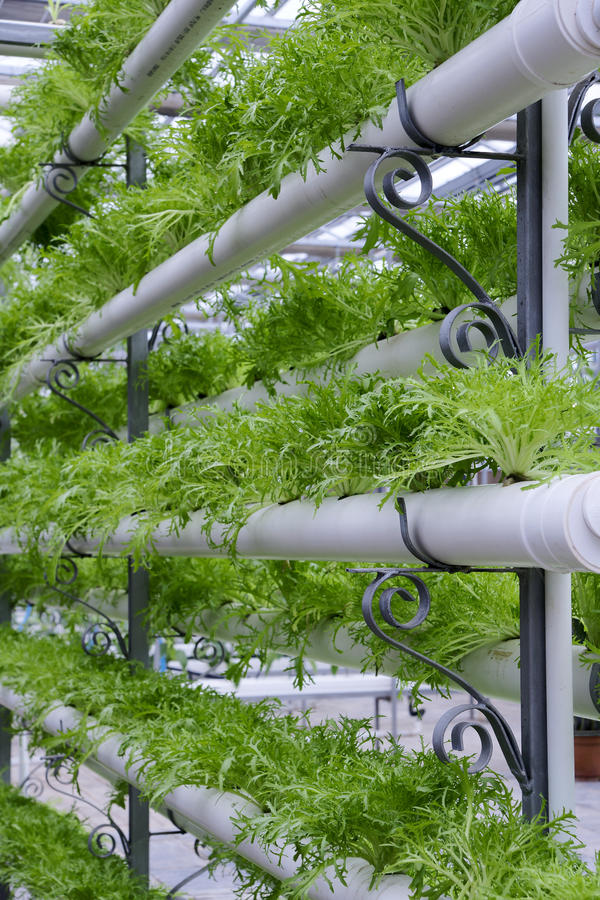 Hydroponic vegetables. Are growing in hothouse royalty free stock photo
