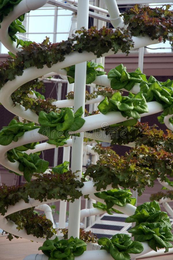 Hydroponic Vegetables. Grown in a greenhouse royalty free stock photos