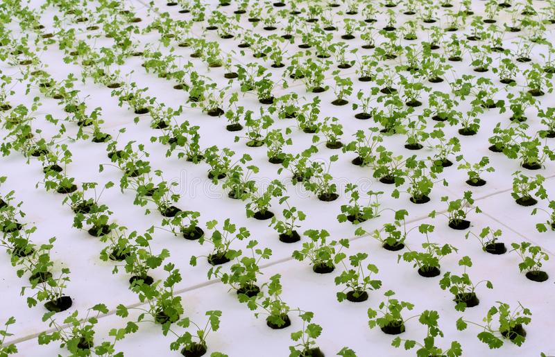 Hydroponic vegetables farm. Hydroponic vegetables grow on sponge at Hydroponic farm stock photography