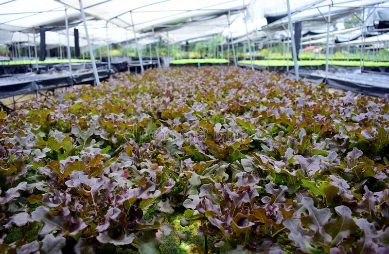 Hydroponic vegetables farm. Hydroponic vegetables grow on sponge at Hydroponic farm stock image