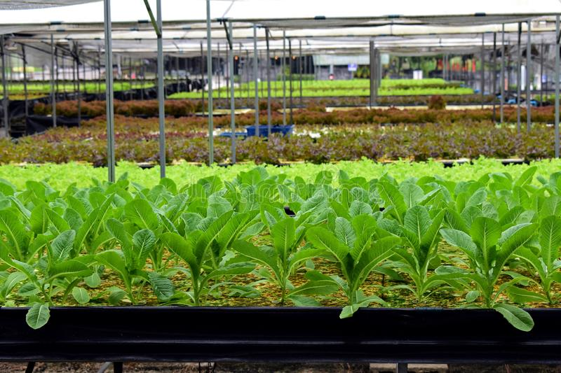 Hydroponic vegetables farm. Hydroponic vegetables grow on sponge at Hydroponic farm stock photo